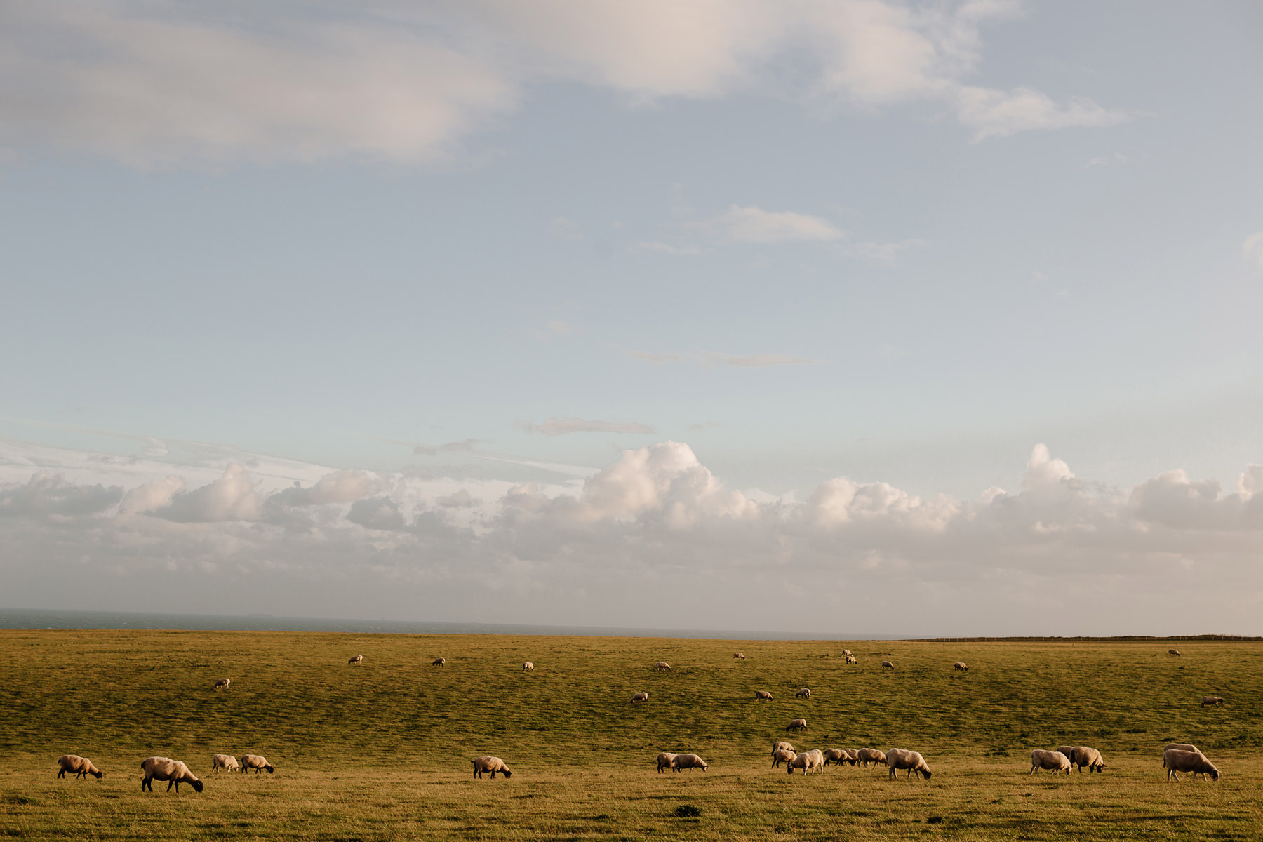 seaford head uk sheep